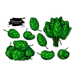 spinach leaves hand drawn set vegetable vector image
