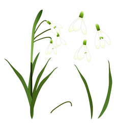 white snowdrop flower isolated on white vector image vector image