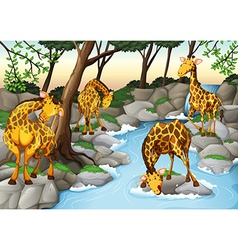 Four giraffes drinking water from the river vector
