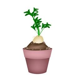 Fresh Daikon Radish in Ceramic Flower Pots vector