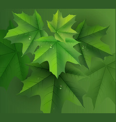 Green maple leaves background and dew drops vector