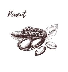Peanut hand drawn sketch in vector image
