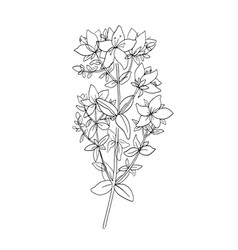 herbal tea plant sketch shrubby st johns wort or vector image