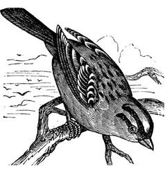 Sparrow vintage engraving vector image vector image