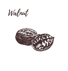 Walnut hand drawn scetch in vector image