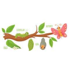cartoon butterfly life cycle caterpillar vector image