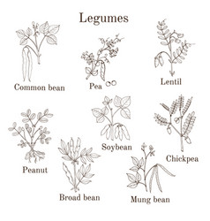 Hand drawn set of culinary agricultural legume vector