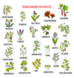 best herbal remedies for hepatitis vector image