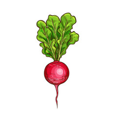Radish sketch vegetable icon vector