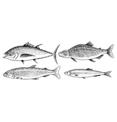 River and lake fish salmon and rainbow trout vector