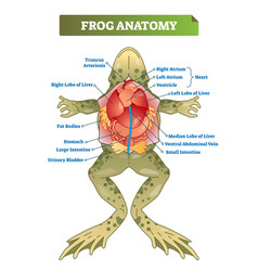 Frog anatomy labeled scheme vector