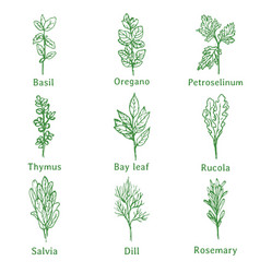 herbs sketch vector image