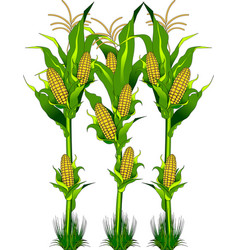 Corn on the field vector
