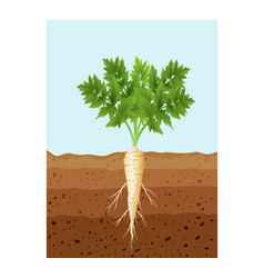 parsnip tree plant with roots vector image
