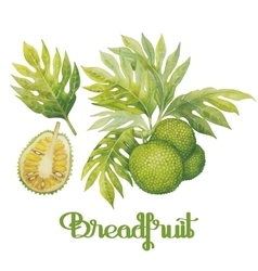 Watercolor breadfruit set vector image