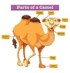 Diagram showing parts of camel vector image
