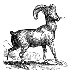 Mountain sheep vintage engraving vector image vector image