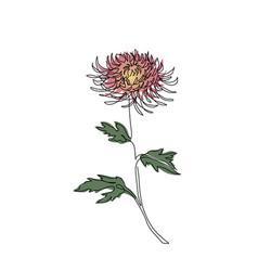 chrysanthemum autumn flower sketch branch vector image