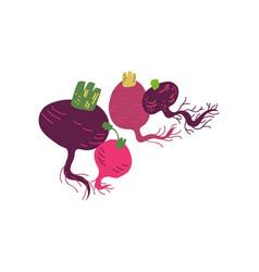 Different beetroot varieties fresh vegetable vector