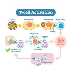 T-cell activation diagram vector