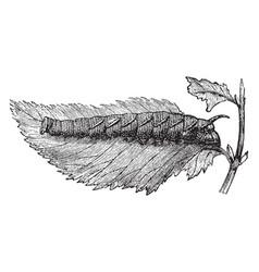 larva of the lime hawk moth vintage vector image vector image