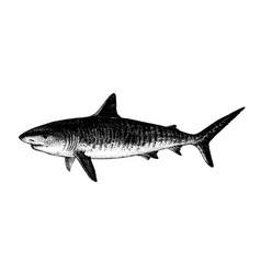 Tiger shark galeocerdo cuvier fish collection vector