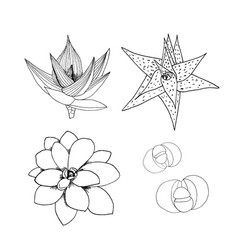 liner set of succulents hand drawn vector image