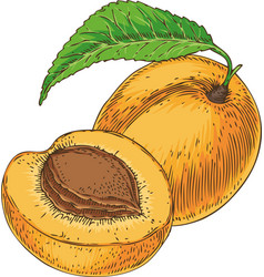 Ripe apricot and its cross section vector