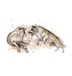 wolf fight from a splash of watercolor hand drawn vector image