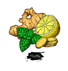 ginger lemon and mint drawing root hearb vector image