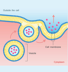 Exocytosis vesicle transport cell membrane vector