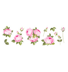 set different roses on white background vector image