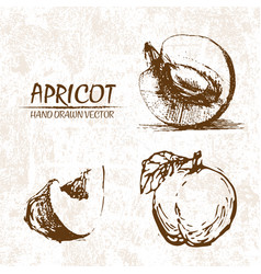 digital detailed apricot hand drawn vector image vector image