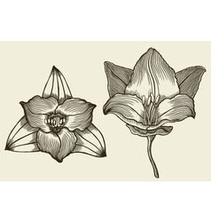 floral blooming lilies vector image