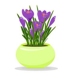 Violet crocuses in yellow flowerpot groving up vector