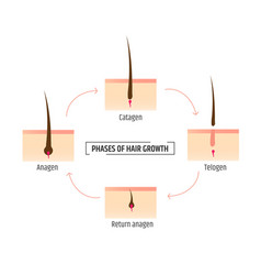 Hair growth phases infographics trichology and vector