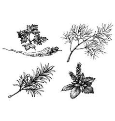 Vegetables and herbs drawings on white hand drawn vector image vector image