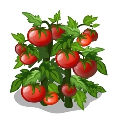 Planting and cultivation of tomato vector image