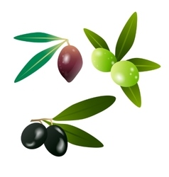 Green olives and dark olives on branch with leaves vector image