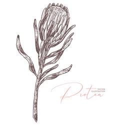 Sketch protea flower botanical drawing vector