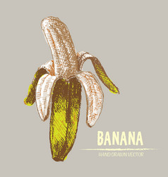 Digital detailed color banana hand drawn vector
