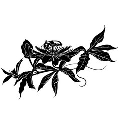 passionflower vector image