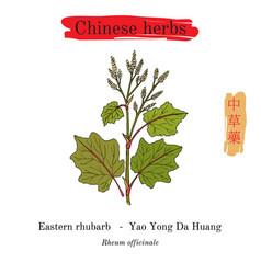 Medicinal herbs of china eastern rhubarb rheum vector