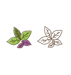 Set color and monochrome basil leaves vector