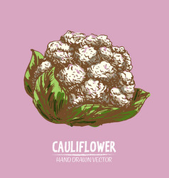 digital detailed color cauliflower hand vector image
