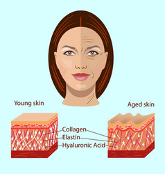 face and two types of skin - aged and young vector image