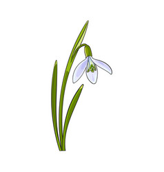 single galanthus snowdrop spring flower with stem vector image