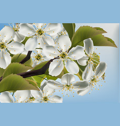 cherry flowers branch close up realistic vector image