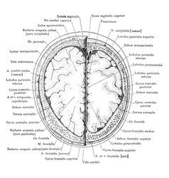 Cross section of head 4 cm above supraorbital vector