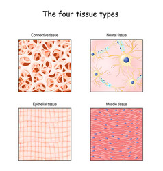 Tissue types connective muscle nervous and vector